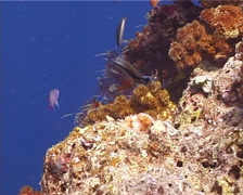 False cleanerfish courting, Aspidontus taeniatus, UP14670 - stock footage