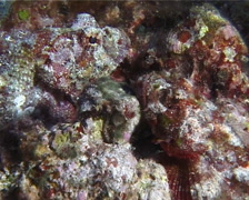 Flasher scorpionfish, Scorpaenopsis macrochir, UP14684 Stock Footage