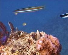 False cleanerfish courting, Aspidontus taeniatus, UP14674 Stock Footage
