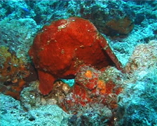 Giant frogfish, Antennarius commerson, UP14700 Stock Footage
