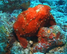 Giant frogfish breathing, Antennarius commerson, UP14697 Stock Footage
