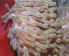 Magnificent sea anemone swaying, Heteractis magnifica, UP14739 Stock Footage