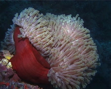 Magnificent sea anemone swaying, Heteractis magnifica, UP14738 Stock Footage