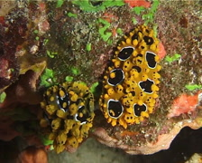 Lumpy yellow eyespot slug, Phyllidia ocellata, UP14749 Stock Footage