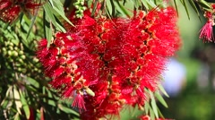 Crimson Bottlebrush Red Flowers Zoom In Stock Footage