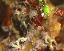 Unidentified sea spider dancing at night, Nymphon sp. Video 14766. Stock Footage