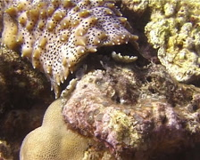 Black tentacle sea cucumber feeding, Bohadschia graeffei, UP14770 - stock footage