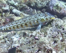 Female adult Latticed sandperch, Parapercis clathrata, UP14784 Stock Footage