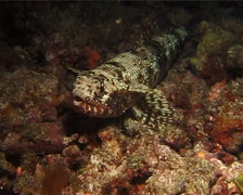 Slender lizardfish at night, Saurida gracilis, UP14786 Stock Footage