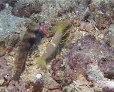 Spotted shrimpgoby housekeeping, Amblyeleotris guttata, UP14800 Stock Footage