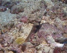 Spotted shrimpgoby housekeeping, Amblyeleotris guttata, UP14804 Stock Footage