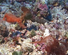 Female adult Roughsnout ghost pipefish swimming, Solenostomus paegnius, UP14811 Stock Footage