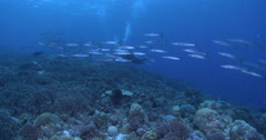 Female model scuba diver swimming on deep coral reef with Bluefin trevally Stock Footage