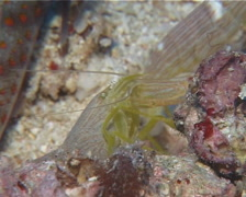 Spotted shrimpgoby housekeeping, Amblyeleotris guttata, UP14797 Stock Footage