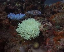 Mixed hard coral garden, Acropora spp. Video 14827. Stock Footage