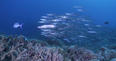 Blackfin barracuda waiting to be cleaned and schooling on deep coral reef, Stock Footage