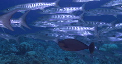 Blackfin barracuda swimming and schooling on deep coral reef, Sphyraena qenie, Stock Footage