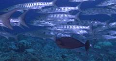 Blackfin barracuda swimming and schooling on deep coral reef, Sphyraena qenie, - stock footage
