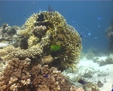 Ocean scenery hard coral, damsels, on shallow coral reef, UP14819 Stock Footage
