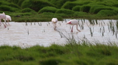 A small flock of greater flamingos feeding in a wetland Stock Footage