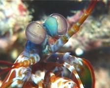 Peacock smasher mantis shrimp looking around, Odontodactylus scyllarus, UP14856 Stock Footage
