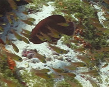 Tomato grouper swimming, Cephalopholis sonnerati, UP14872 Stock Footage