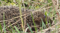 hedgehog hiding in their needles and crawls - stock footage