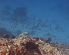 Indian mackerel feeding and schooling, Rastrelliger kanagurta, UP14893 Stock Footage