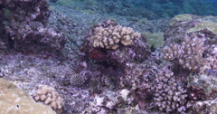 Adults and juveniles Pacific gregory swimming on very shallow reef surge zone, Stock Footage
