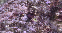 Red-spotted blenny looking around on very shallow reef surge zone, Blenniella Stock Footage