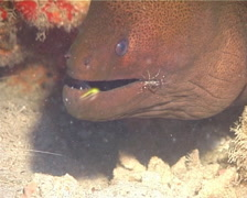 Giant moray cleaning and being cleaned, Gymnothorax javanicus, UP14925 Stock Footage
