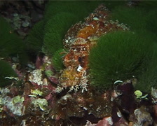 Smallscale scorpionfish at night, Scorpaenopsis oxycephala, UP14934 Stock Footage