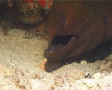 Giant moray breathing, Gymnothorax javanicus, UP14930 Stock Footage
