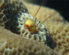 Yellow coral hermit shrimp feeding, Paguritta corallicolla, UP14969 Stock Footage