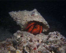 Giant orange hermit crab, Dardanus megistos, UP14978 Stock Footage