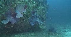 Elephant ear sponge feeding on wreckage, Ianthella basta, 4K UltraHD, UP35916 Stock Footage