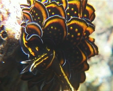 Leaf gilled slug walking, Cyerce nigricans, UP14982 - stock footage
