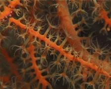 Orange fan soft coral feeding, Astrogorgia sp. Video 14994. Stock Footage
