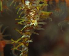 Ornate ghost pipefish looking around, Solenostomus paradoxus, UP14998 Stock Footage