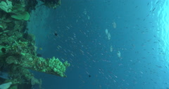 Vertical display shot of Barcheek trevally hunting on wreckage, Carangoides Stock Footage