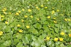Flowering plants of lesser celandine - stock photo