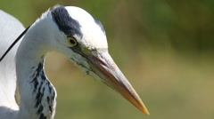 Close-up of a Grey Heron standing motionless Stock Footage