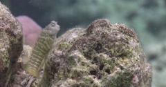 Segmented blenny looking around, Salarias segmentatus, 4K UltraHD, UP35953 Stock Footage