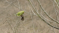 Medium Shot parrot autumn eating fruit from tree flies away in Pavia, PV, Italy - stock footage