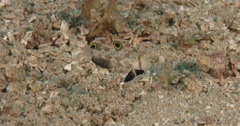Twinspot goby swimming on sand and coral rubble, Signigobius biocellatus, 4K Stock Footage
