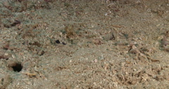 Twinspot goby feeding on sand and coral rubble, Signigobius biocellatus, 4K Stock Footage
