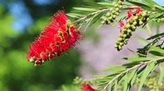 Callistemon Bottlebrush Flower From Australia Stock Footage