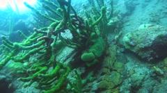 Amphipod (Acanthogammarus victorii) Stock Footage