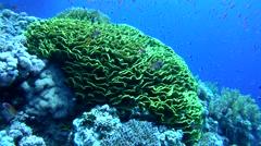 school of fish near coral reef, Red Sea, Sharm el Sheikh, Egypt, Sinai - stock footage