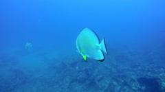 Teira batfish (Platax teira) Stock Footage